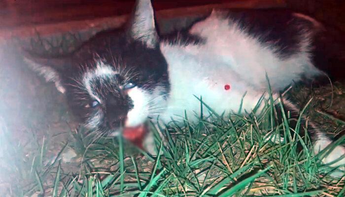 Baygın halde bulunan sokak kedisi, çürük dişi nedeniyle yemek yiyememiş