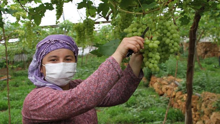 Mersin Erdemlide sezonun ilk üzüm hasadı yapıldı