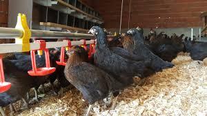 Tavukçuluk Sektörü
