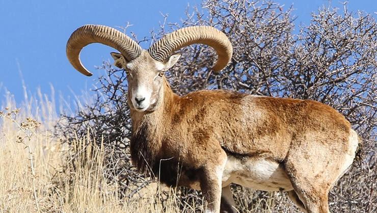 Yaban koyunu vurana 267, boz ayı vurana 30 bin TL ceza geliyor