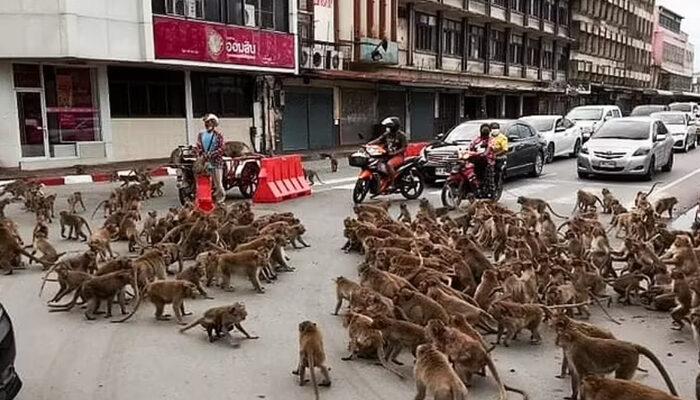Koronavirüs onları da etkiledi! Tayland sokaklarını maymunlar bastı: Yiyecek için savaşıyorlar